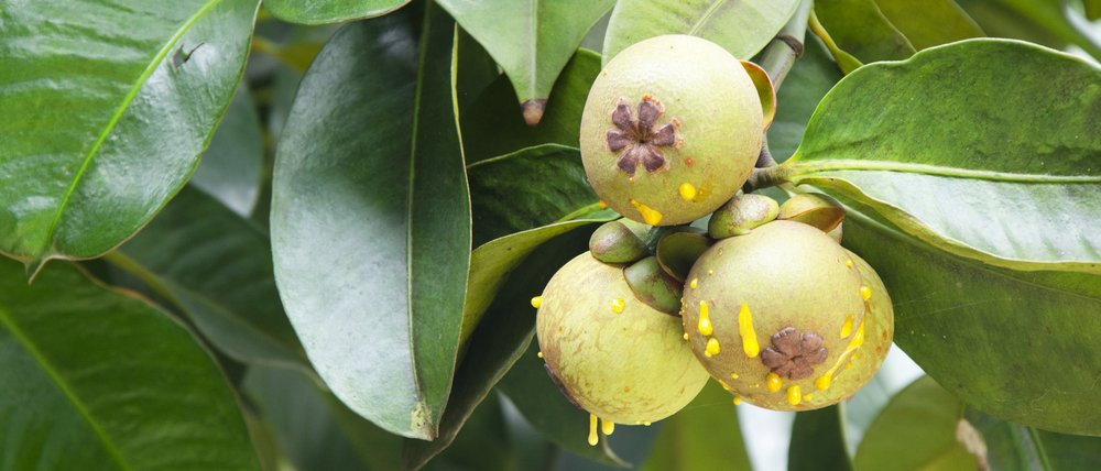 garcinia-cambogia-test-tree