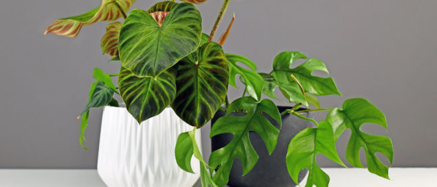 Philodendron-Test