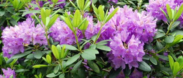 Rhododendron-Dünger Test