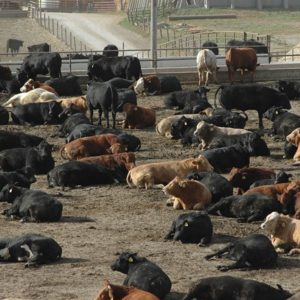 rinder in feedlot